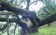 세월이 서려있는 향나무