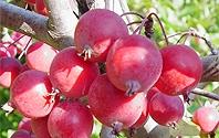 소복하게 매달린 붉은 열매