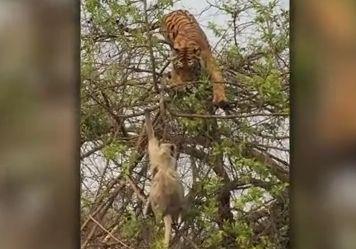 원숭이 잡으려고 나무에 올라간 호랑이.. 결말은?