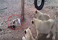 """당돌한 강아지 """"사자 안 무서워?""""방귀 뀐 놈이 성낸다더니"""