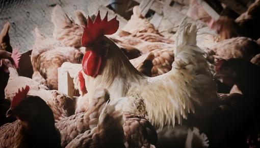 [디지털 스페셜]  대한민국에서 닭으로 사는 법