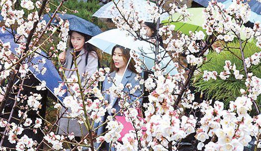 '봄 예보' 매화나무 아래에서···