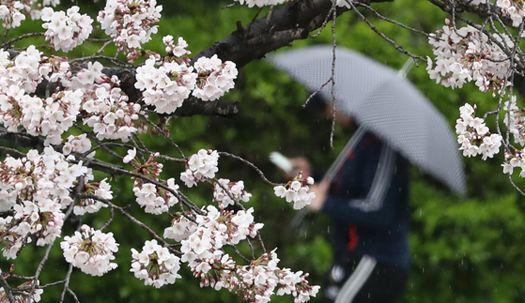 봄 알리는 비와 벚꽃