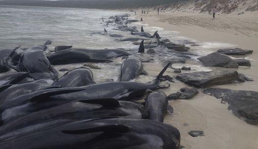 고래 150마리 호주 해안에서 집단 폐사?