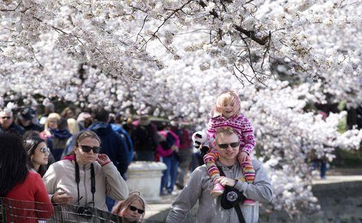 미국도 벚꽃축제... 벚나무 원조는?