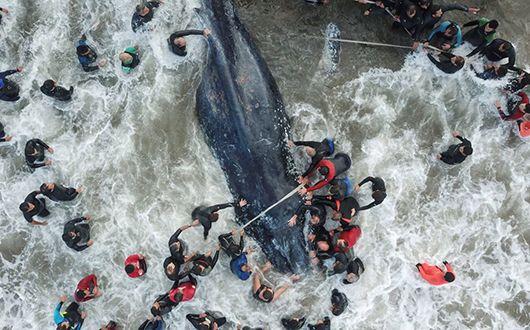 해변 밀려온 혹등고래, 20시간 구조에도 숨져