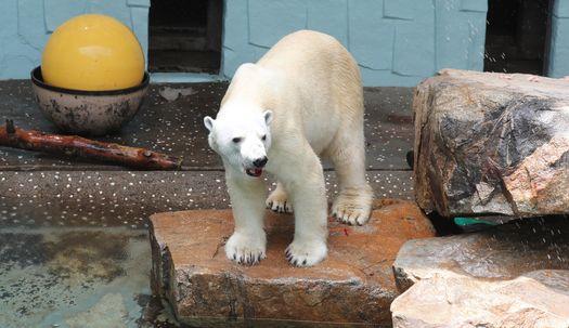 국내 유일 북극곰 '통키' 마지막 여름나기