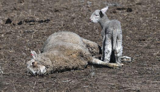 400년만의 호주 가뭄, 어린 양은 살아남을까?