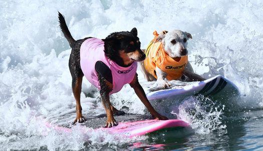 개 서핑, 혼자서 오래 자신감 있어야 우승