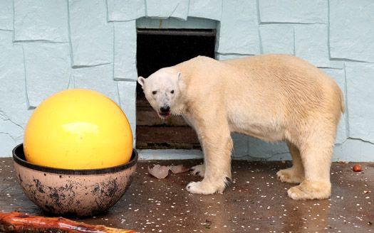 국내 마지막 북극곰 '통키' 결국 숨져...