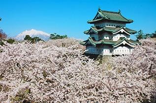 기껏 갔는데 아직 안 폈네? '일본 벚꽃 여행' 언제가 적기?