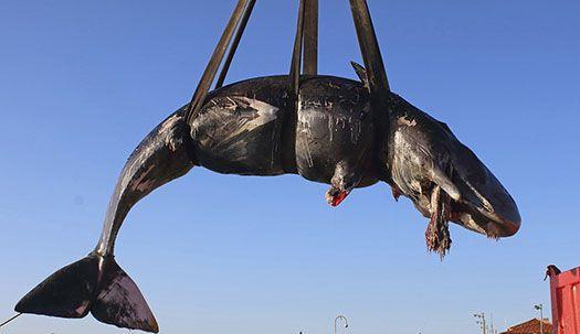 임신한 향유고래 뱃속에 플라스틱이...