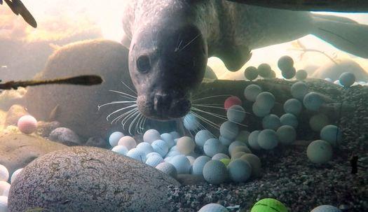 바닷속 가득한 골프공사이 먹이찾는 바다표범