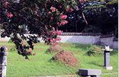 조용철의 마음 풍경눈물 뚝뚝 배롱나무