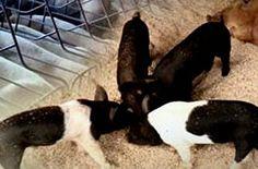 파주서 아프리카돼지열병<br/> 국내 첫 확진…초비상