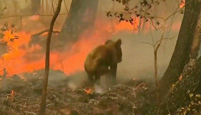 화상 입은채 불길에 갇힌 코알라,  주민에 극적으로 구조되다
