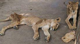 갈비뼈만 남은 수단 사자 사진, 분노한 네티즌들 구호운동 나섰다