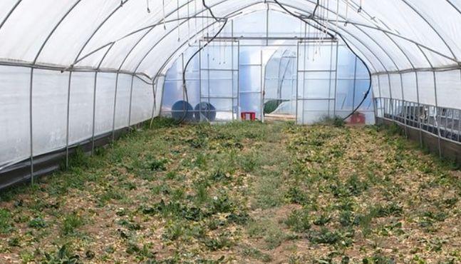 온라인 개학에 울어버린 농민···급식재료 막혀 무·배추 썩는다