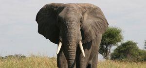 어금니 닳으면…코끼리도 사람도 씹어야 산다