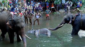 '과일 폭죽' 먹은 코끼리, 심한 상처에 '이 자세'로 죽었다
