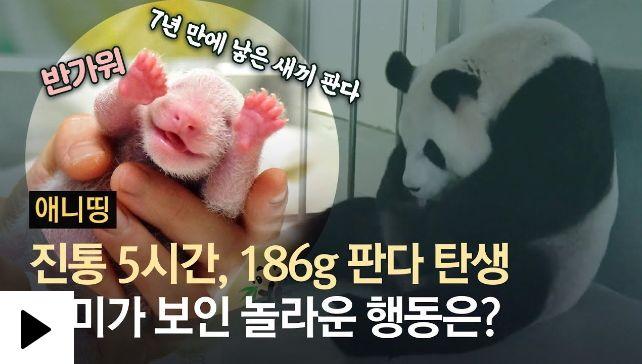 5시간 진통 끝에 태어난 186g 아기 판다…어미의 놀라운 행동