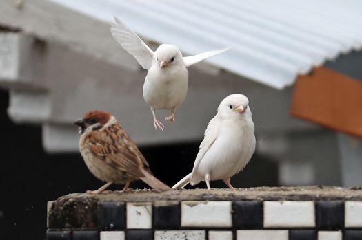 좋은 소식 전하는 '흰 참새', 춘천에 나타났다