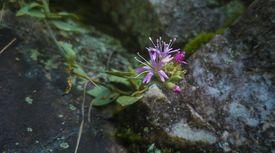 3대 멸종위기 바위 꽃 중 하나, 분홍장구채