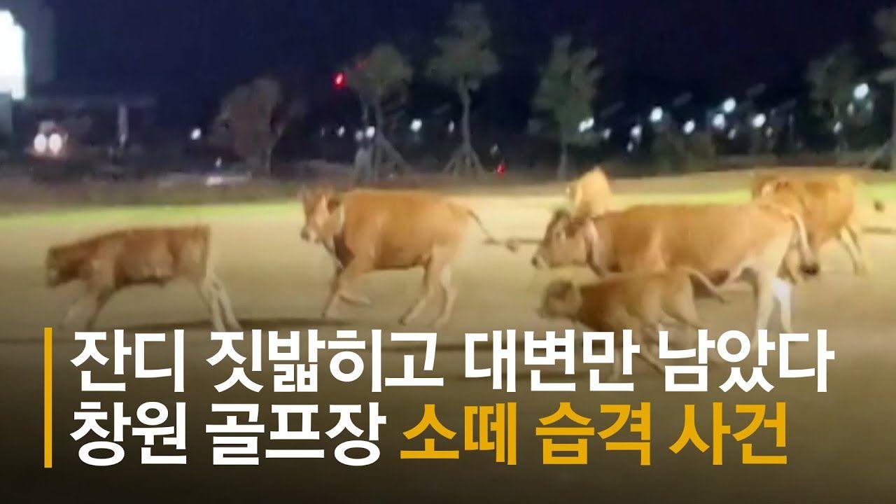 [영상] 우르르 몰려와 대변만 남겼다…골프장 소떼 습격사건