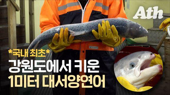 '국민 생선'된 대서양연어…동해 바닷물로 1m까지 키웠다
