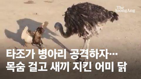 [단독] 몸집 10배 큰 타조 공격…목숨걸고 새끼 지킨 어미 닭